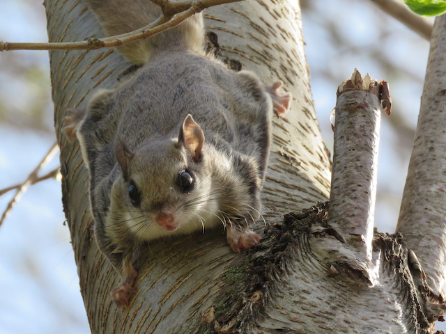 BioBlitz 2018: 3rd Place: Southern Flying Squirrel: Ironwood Golf Course, MI (Photo credit: Kim Davidson)